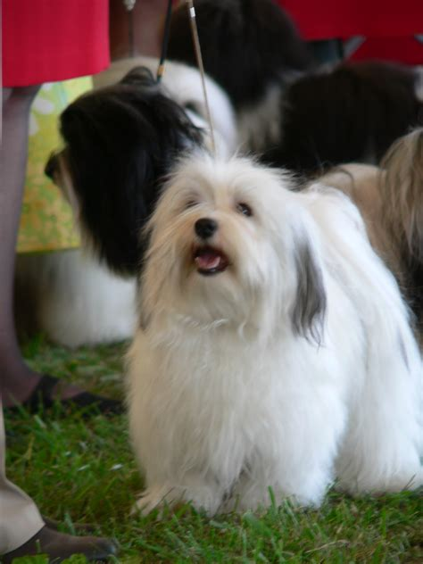 buy havanese havanese dogs pictures temperament breeds picture