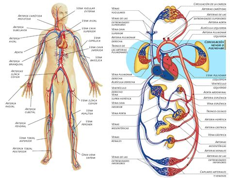 el sistema caged y efectos del masaje sobre los sistemas circulatorio y linf 225 tico web masajes