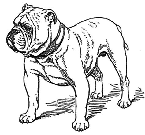 free coloring pages of bulldog drawing