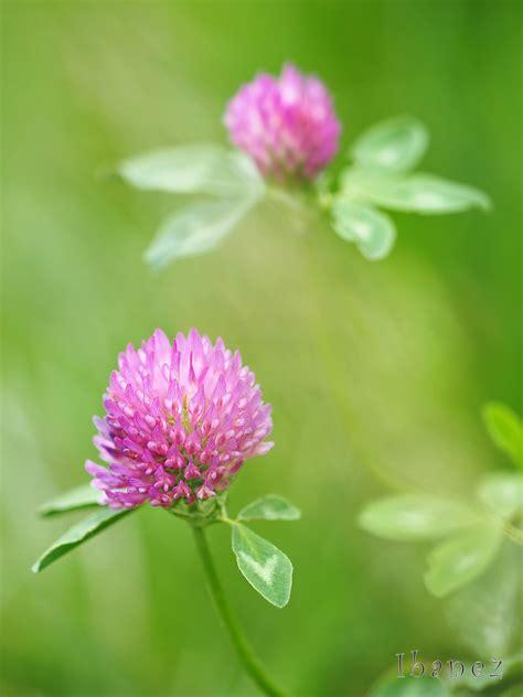 fiore trifoglio trifoglio in fiore juzaphoto
