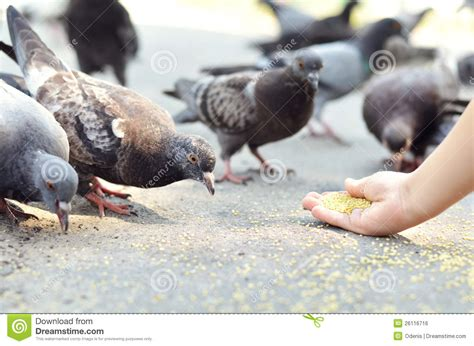 feeding birds stock photo image of road dove urban