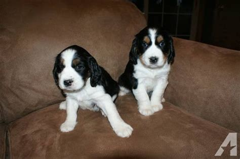 springer spaniel puppies for sale in wisconsin akc tri color springer spaniel puppies for sale in mayville wisconsin