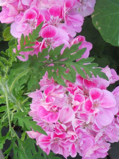 best scented geranium 1267 best images about scented geraniums on
