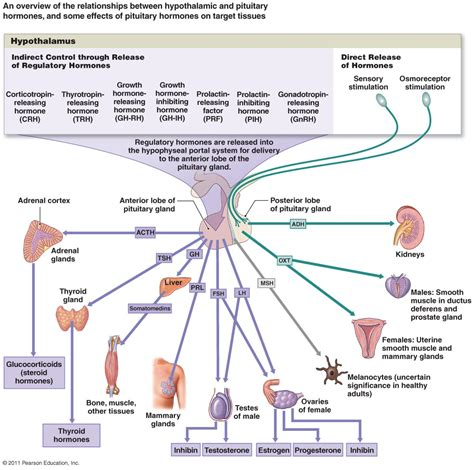 endocrine flowchart the endocrine system