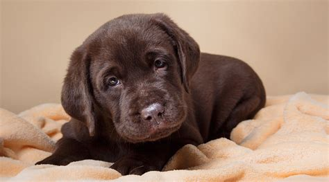 puppy cries stop your puppy great tips for settling new puppies day