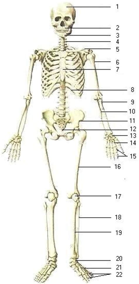 best 25 human skeleton bones ideas only on skeleton anatomy labelled best 25 skeletal system activities ideas only on apologia anatomy systems and