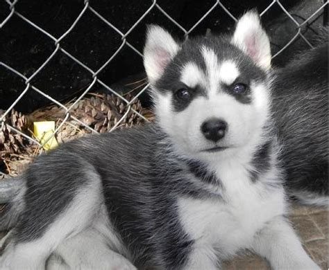 siberian husky puppies for sale in illinois pets belvidere il free classified ads