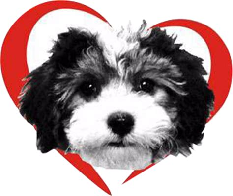 havanese puppies for sale in ri havanese puppies for sale fl royal flush havanese