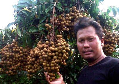 Bibit Anggrek Sidoarjo cara mudah membuat sendiri perangsang akar buah dan daun