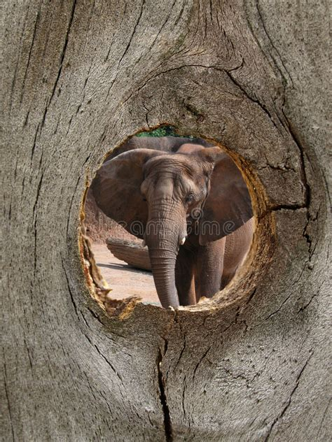 the elephant with a knot in his trunk books elephant zoo animal in fence knot stock image image