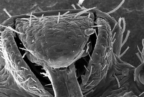 bedbug  stock photo microscopic bedbug scanning