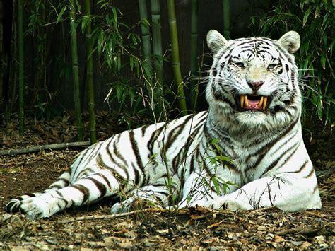 Tiger White wallpapers white tiger desktop wallpapers