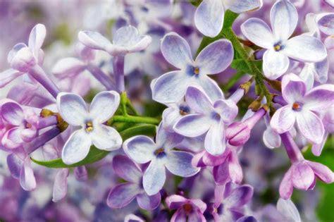 lilla fiori lilla syringa vulgaris cosa c 232 da sapere