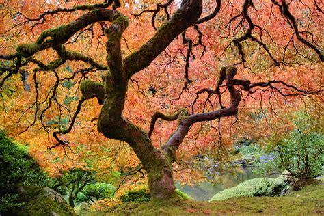 japanischer garten leverkusen größe acero giapponese arbusto elegante da coltivare in vaso