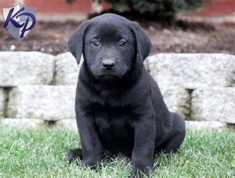 black lab puppies for sale in pa labrador retriever black puppies for sale in pa design bild