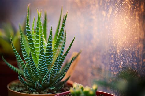 tanaman  mudah dirawat  ruangan rumah