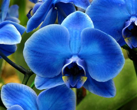blue orchid blue orchid the daily orchid
