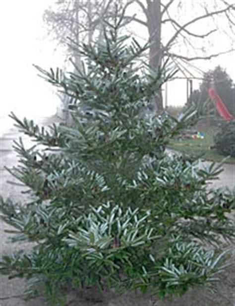 christbaumkulturen isenegger ig suisse weihnachtsbaum