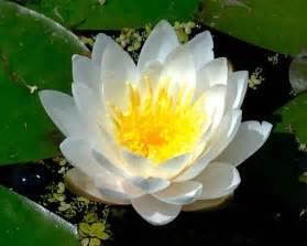 White Lotus Gallery White Lotus With Golden Eye Jpg