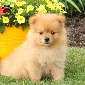 pomeranian puppies nyc pomeranian puppies for sale in de md ny nj philly dc and baltimore