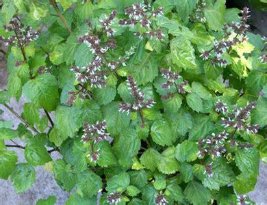 Minyak Nilam Surabaya pokok nilam benih nilam ladang nilam minyak nilam dan