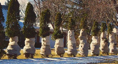 winter tree wrap should plants be wrapped in winter garden myths