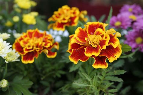 Variety Of Flowers For Garden Marigold Plants Hd Wallpaper Flowers Wallpapers
