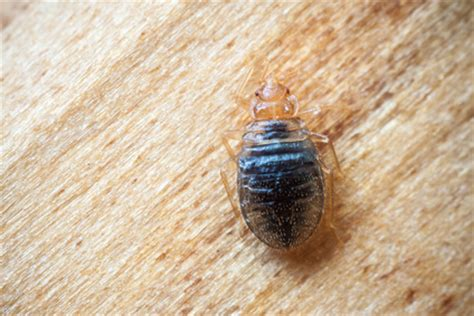 Black Bed Bug by Doc2014 Autor Auf Destra Sch 228 Dlingsbek 228 Mpfung Berlin