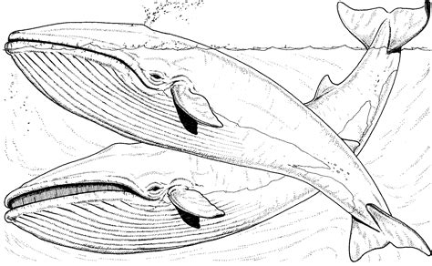 coloring pages whales free whale coloring pages