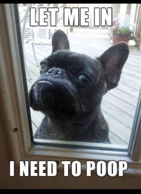 Funny French Memes - 9 funniest french bulldog memes funny french bulldogs french bulldogs and memes