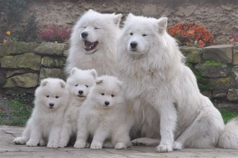 samoyed puppy price samoyed puppy for sale dogs puppies the greensheet houston tx