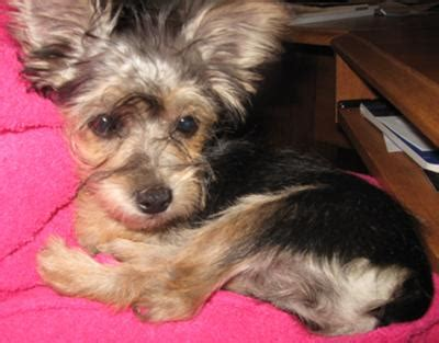 yorkie puppies ta haircuts for malteseyorkie dogs hairstyle gallery