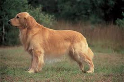 golden retriever stomach problems diseases of breeds your own vet