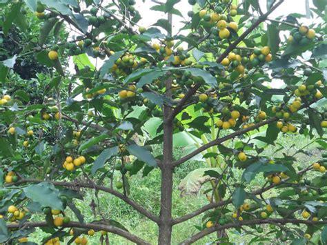 tree dropping fruit lemon drop mangosteen mameyito garcinia intermedia