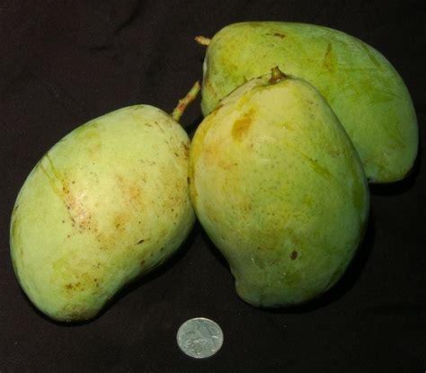 Tanaman Mangga Khieo Sawoi Tinggi 40 60 Cm tanaman mangga indramayu bibitbunga