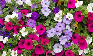 annuals paterno nurseries inc