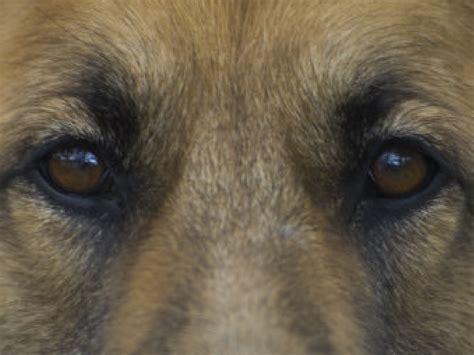 puppy eye dogs eye