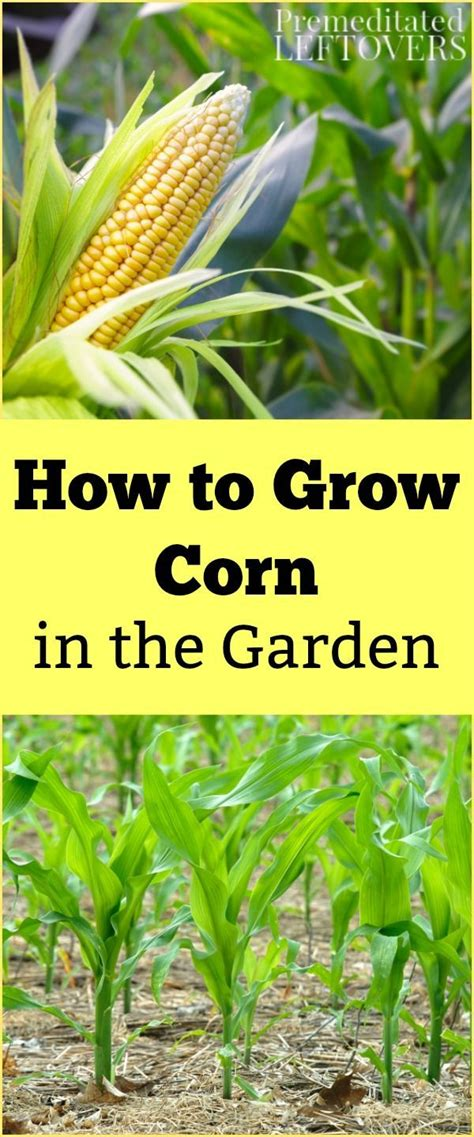 how to grow corn in your backyard 25 best ideas about vegetable gardening on pinterest