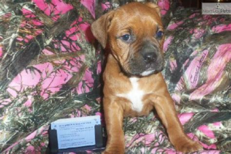 bullmastiff puppies ohio bullmastiff puppy for sale near columbus ohio 501cf995 1be1