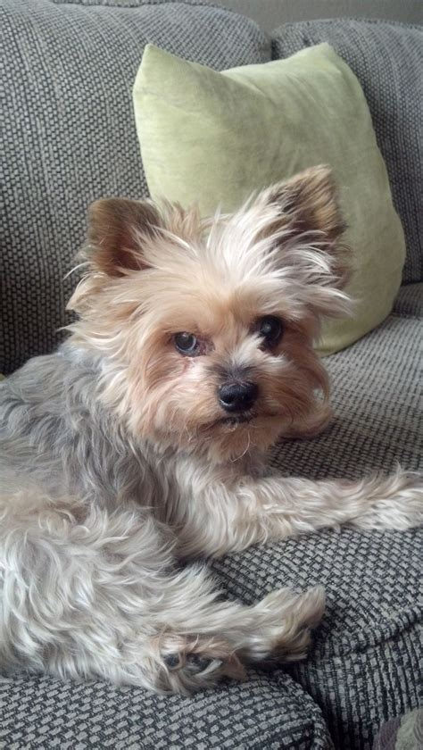 what are yorkies like yorkie puppy look like yorkie puppies guide to puppies 1000 images about yorkie