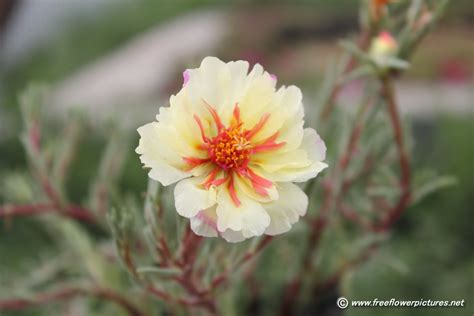 image for flowers moss rose picture flower pictures 3143