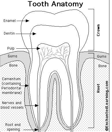 Primary Explorers Human tooth anatomy printout enchantedlearning
