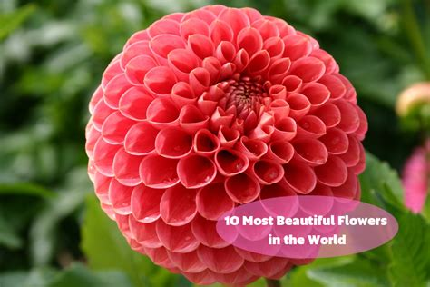most beautiful flowers around the world 10 most beautiful flowers in the world cheap flowers