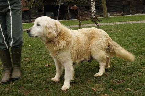 dd cocker spaniels and golden retrievers chien elevage de beaudribos eleveur de chiens golden