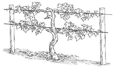 Coloring Page Vine And Branches by Jesus Is The Vine