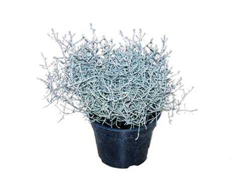 Winterharte Pflanzen Für Balkon by Herbstpflanze Lexikon F 252 R Kr 228 Uter Und Pflanzen