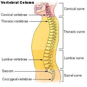 seer axial skeleton 80 bones