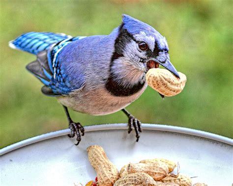 wild life blue jay birds wild birds
