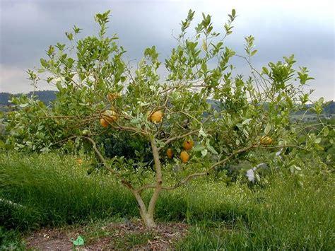 etrog tree tree backyard plants