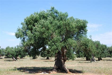 olive trees file centenarian olive tree 1 4752183682 jpg